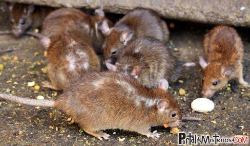 Foto de ratas desalojadas, cortesía de Diario Los Andes